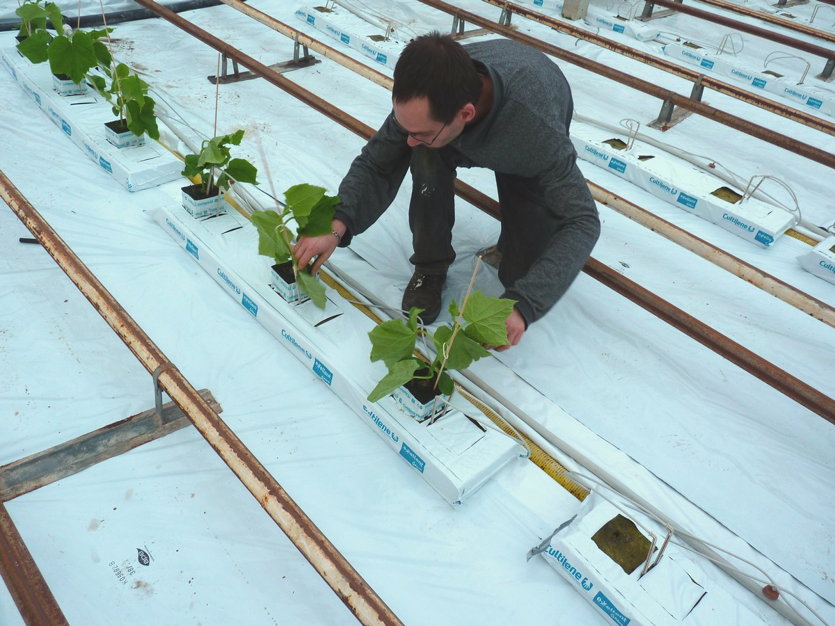 CONCOMBRES - PLANTATION - P1040301 site internet