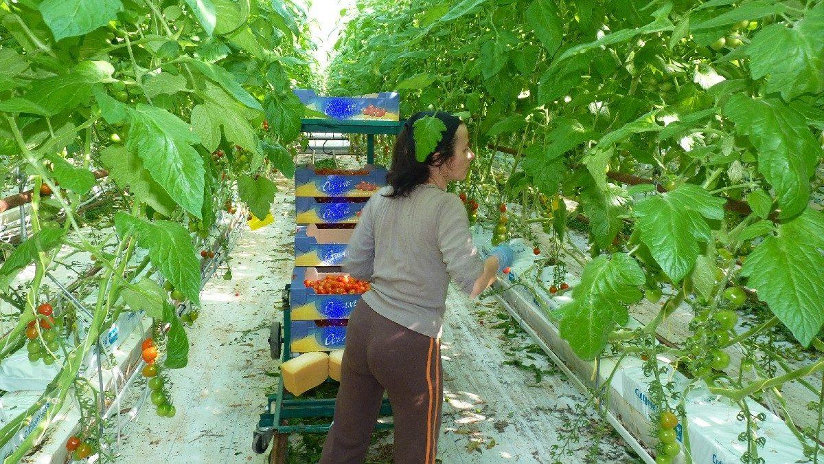 récolte tomate concombre