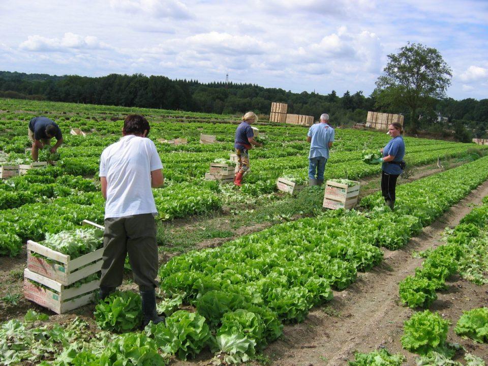 récolte de salades